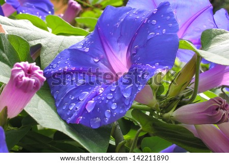 Morning glory flower with water drops, Spain. - stock photo