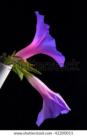 Morning glory in a white vase. Ipomoea. - stock photo