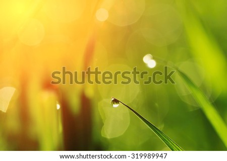 Morning grass with dew drops