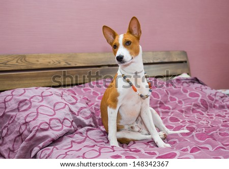 Morning in a bedroom of lazy basenji dog.