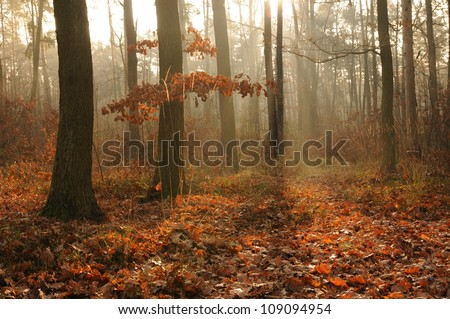 Morning in autumn forest. Poland - stock photo