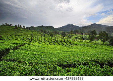 morning in tea plantation,,west java indonesia