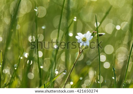 Morning light through the blooming flowers of spring meadow. Gorgeous back light feels fresh in the spring grass. Little drops of dew forming beautiful luminous discs. - stock photo