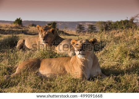 Morning lion  breakfast on african savannah