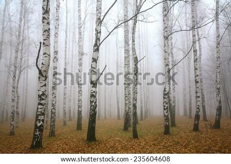Morning mist in autumn birch grove - stock photo