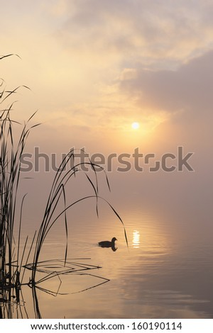 Morning mist on lake with a lonely coot - stock photo