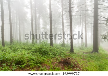 Morning misty forrest