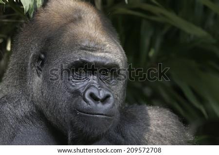 Morning smile from Lowland Gorilla - stock photo