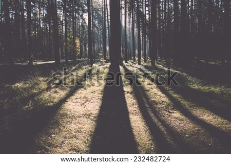 Morning sun beams in the autumn forest in latvia. Vintage photography effect. - stock photo