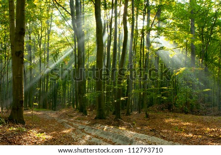 Morning sun beams in the autumn forest . Poland - stock photo