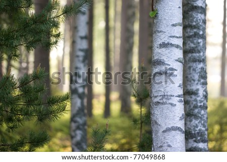 Morning sun glowing behind the trees in the forest - stock photo
