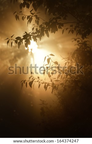 Morning sun in the tree foliage in strong fog