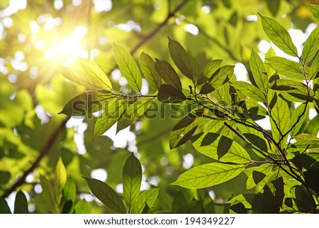 Sun Through Tree Leaves