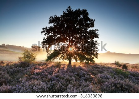 morning sunbeams behind oak tree and heather, Netherlands - stock photo