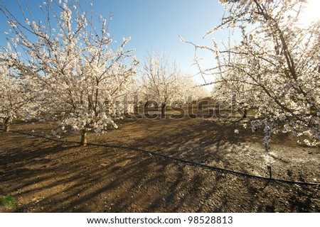 Morning sunlight over an almond orchard in full bloom