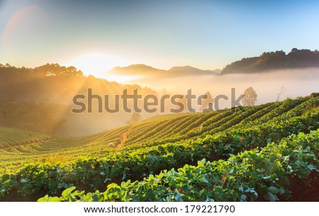 Morning sunrise in strawberry field at doi angkhang mountain, chiangmai, thailand. - stock photo