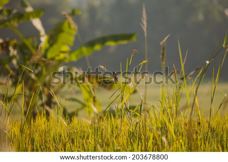 Morning view of rice field and small birds in Ubud, Bali, Indonesia - stock photo