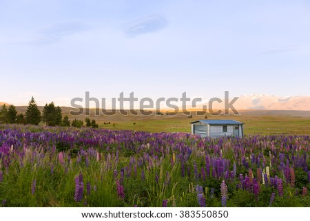 Morning view with lupine pink & violet blooming vintage themes flowers in farmland