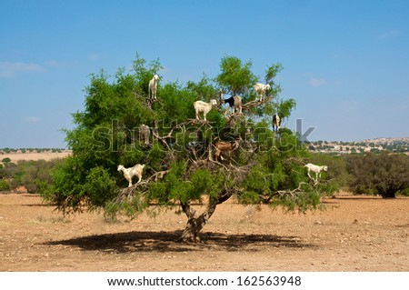 Moroccan goats in an Argan tree (Argania spinosa) eating Argan nuts  - stock photo