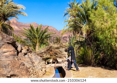 MOROCCO-DEC 27, 2012: Local women with a donkey piled high with dry palm fronds gathered at this large oasis in the Draa River valley. The fronds have many uses, including construction of fences. - stock photo