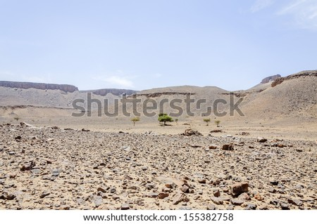 Morocco, Draa valley. Group of acacia trees in the middle of the stone desert