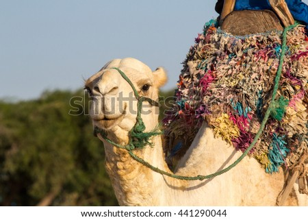 Morocco, Essaouira. Camel with traditional saddle.
