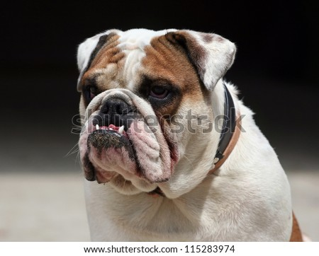 Morose young English Bulldog looking - stock photo