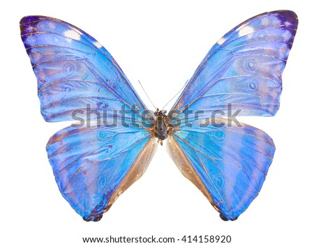 Morpho adonis ice blue butterfly isolated on white background - stock photo