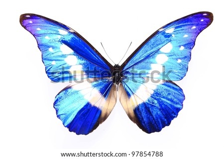 Morpho helena staudinger,Blue Purple butterfly on a lonely and isolated  white background - stock photo