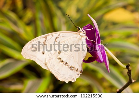 Morpho polyphemus butterfly on the orchid flower - stock photo