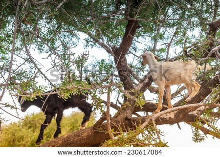 Morrocan goats in the field and among the trees