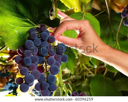 moscato grapes within italian wineyard - stock photo