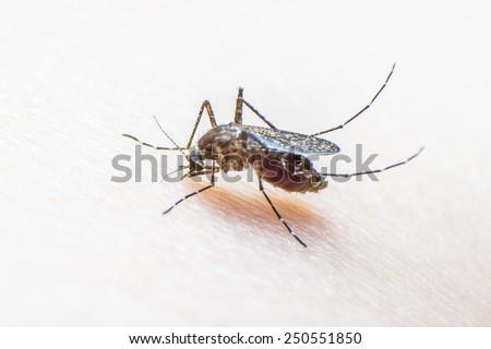 Mosquito biting human skin sucking human blood - stock photo