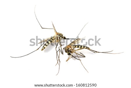 Mosquito dead on isolated white background