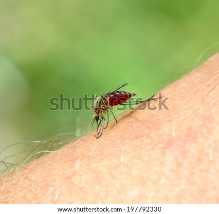 mosquito drinks blood out of man - macro shot - stock photo
