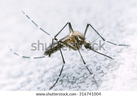 mosquito drinks blood out of man. mosquito causing dengue fever and malaria. - stock photo