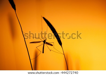 Mosquito in backlight