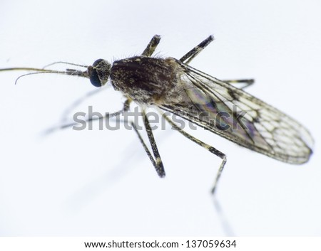 Mosquito in the macro format Diptera - Nematocera, Culicidae - stock photo