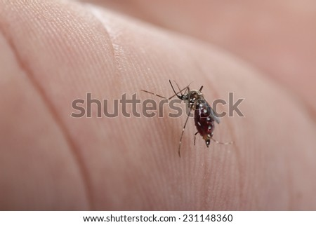 mosquito is sucking the blood and storing in the abdomen - stock photo