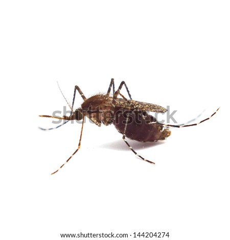 Mosquito isolated on white background - stock photo
