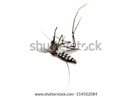 Mosquito isolated on white background. Extreme close-up - stock photo
