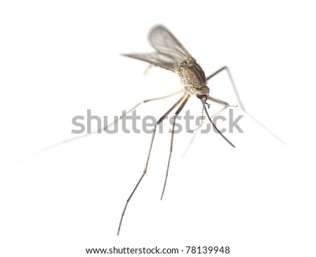 Mosquito isolated on white background, extreme close up - stock photo