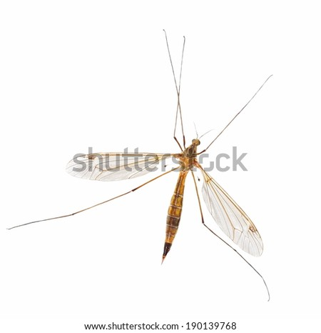 mosquito isolated on white (with clipping path) - stock photo
