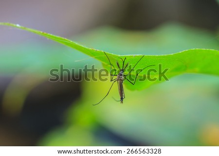 Mosquito on green leaf,Mosquito hang on leaf in macro - stock photo