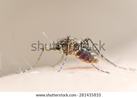 Mosquito on human skin w/ red human blood in insect's stomach: Tropical insect animal, danger bacteria + virus carrier cause dangerous illness/ disease - zika, flavi, malaria, flavivirus, dengue, gnat