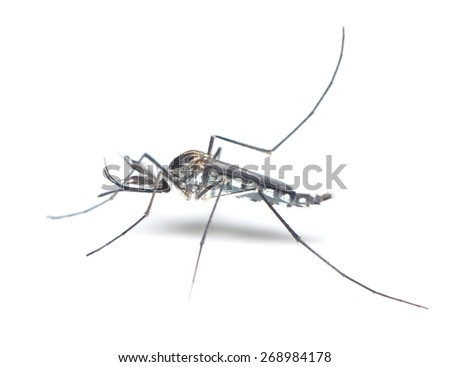 Mosquito on white background - stock photo
