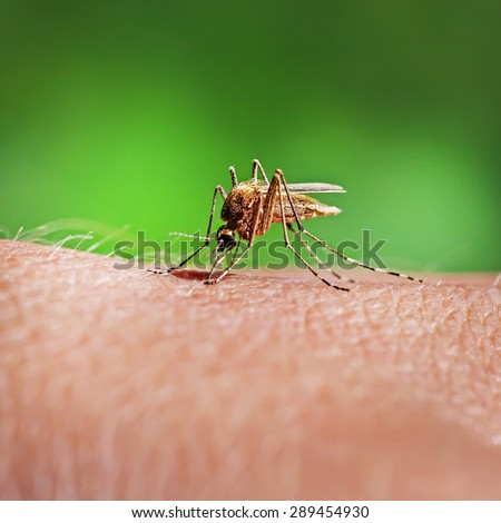 Mosquito Piskun or Culex pipiens (Culex pipiens). The female mosquito feeds on the blood of the human body - stock photo