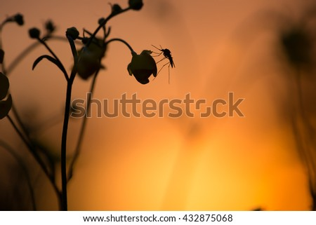 Mosquito resting on buttercup flower in sunset