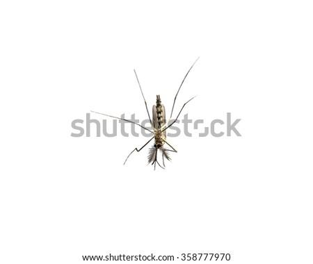 Mosquito species aedes aegyti sleep open isolated - stock photo