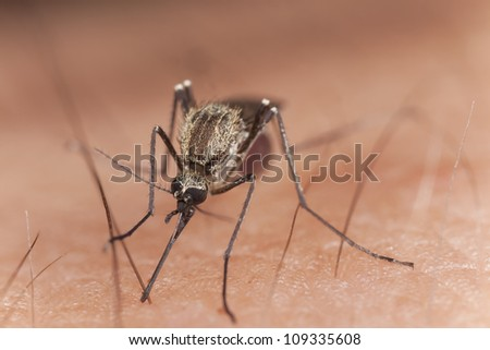 Mosquito sucking blood, extreme close-up with high magnification - stock photo